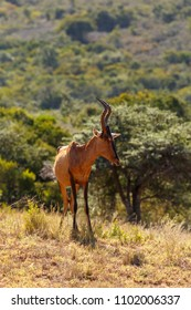 Skinny Red Hartebeest standing and looking down the cliff