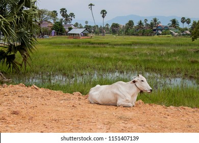 Skinny white Cambodian cow. Countryside landscape in Kampot Province in southern Cambodia, Asia.