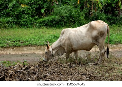 Skinny white cow eating grass in countryside