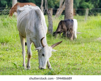 Skinny white cow eating green grass from the pasture of a farm. White cow with ribs and bones appearing, cow with horn.