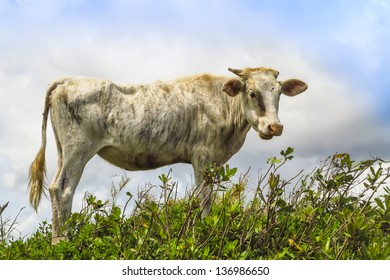Skinny white cow standing outdoors in grass against a summer sky