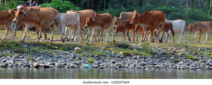 The skinny white cows and oxen we saw all over Cambodia are known as Zebu, also known as  Brahmin.