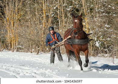 Skioring, winter sports with horse. The driver pushes his horse to make it run faster. Skijoring is a winter sport, which has its roots in Scandinavia.