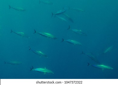 skipjack tuna, Katsuwonus pelamis, Cape Point, South Africa, Atlantic Ocean