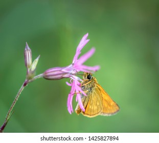 Skipper butterfly. The close-up of a yellow Skipper butterfly.