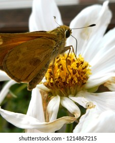 Skipper Butterfly Drinking From Cosmos Flower: A banded or grass skipper, this insect is also called a moth. Popular in North America, it may be a Leonard's or Sachem Skipper.