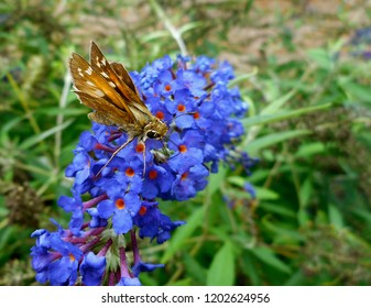 Skipper Butterfly Drinks From Flower: A popular diurnal insect in North America, sometimes called a moth. It is a grass or banded skipper, perhaps a Sachem or Leonard's Skipper.