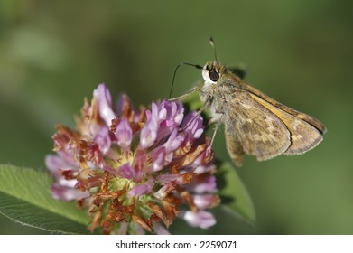 A skipper butterfly on clover.
