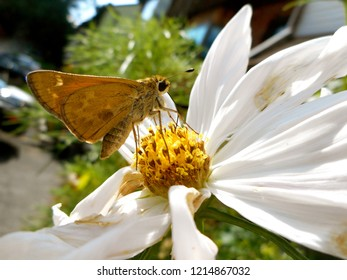 Skipper Butterfly on Cosmos Flower: A banded or grass skipper, this insect is also called a moth. Popular in North America, it may be a Leonard's or Sachem Skipper.