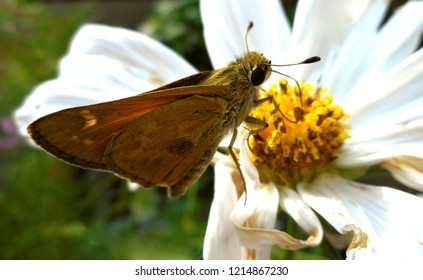 Skipper Butterfly on Dying Cosmos Flower: A banded or grass skipper, this insect is also called a moth. Popular in North America, it may be a Leonard's or Sachem Skipper.