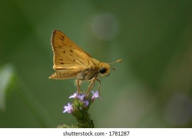 Skipper butterfly perch