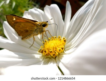 Skipper Butterfly Sips from Cosmos Flower: A banded or grass skipper, this insect is also called a moth. Popular in North America, it may be a Leonard's or Sachem Skipper.