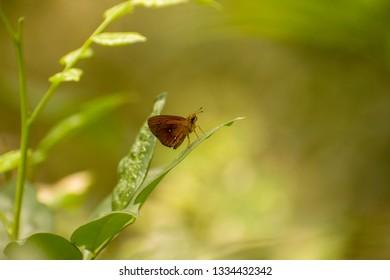 skipper butterfly (Swarthy Skipper)