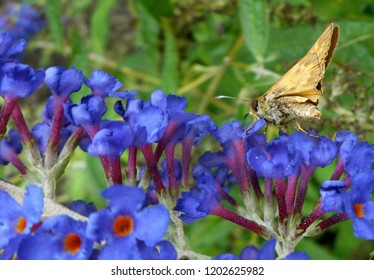 Skipper Butterfly Walks on Flowers: A popular diurnal insect in North America, sometimes called a moth. It is a grass or banded skipper, perhaps a Sachem or Leonard's Skipper.