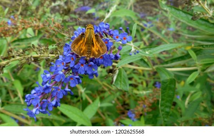 "Skipper Butterfly/Moth Drawn to Garden: Popular in North America, it is a grass or banded skipper, perhaps a Sachem or Leonard's Skipper. The wings are in the ""jet-plane position."""