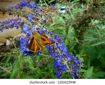 "Skipper Butterfly/Moth Graces Garden: Popular in North America, it is a grass or banded skipper, perhaps a Sachem or Leonard's Skipper. The wings are in the ""jet-plane position."""