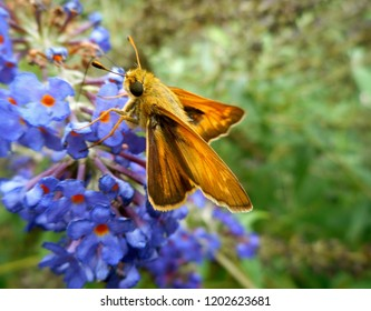"Skipper Butterfly/Moth: A popular diurnal insect in North America, it is a grass or banded skipper, perhaps a Sachem or Leonard's Skipper. The wings are in the ""jet-plane position."""