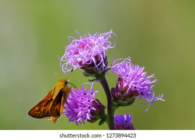Skipper on blazing star wildflower in Wisconsin in the Crex Meadows Wildlife Area