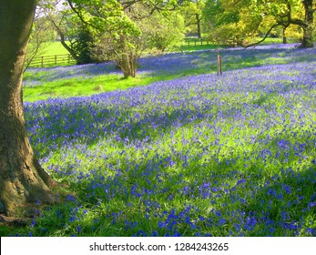 SKIPTON, NORTH YORKSHIRE, UK : 4 May 2017 : A carpet of bluebells shine in bright sunlight in remote rural woodland near to Skipton
