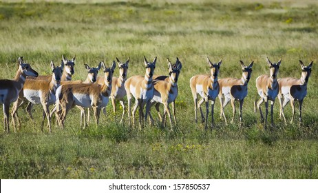 Skittish pronghorn antelope herd shortly after an early fall sunrise on the northern New Mexico prairie
