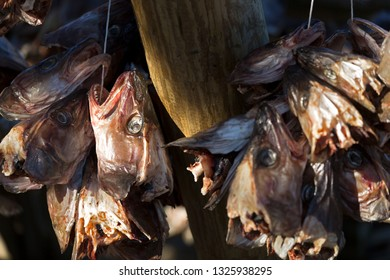 Skrei fish heads hung up for drying, Lofoten, Norway