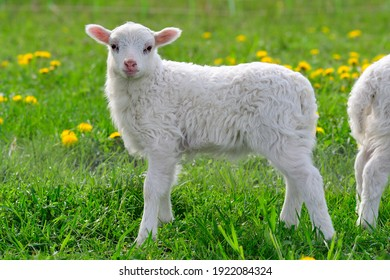 Skudde with lamb on a meadow