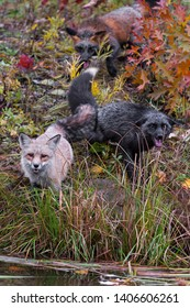 Skulk of Red Fox (Vulpes vulpes) Gather at Shore Autumn - captive animals