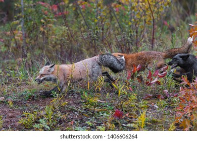 Skulk of Red Fox (Vulpes vulpes) Runs Left Autumn - captive animals
