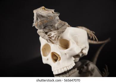 Skull, Agama bearded, lizard background