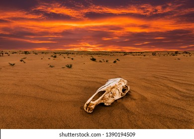 Skull of an animal in the sand desert at sunset. The concept of death and end of life