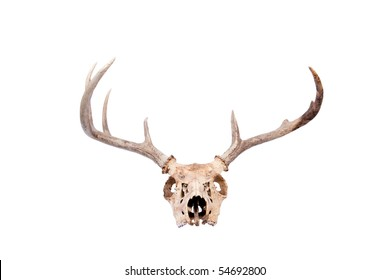 a skull and antlers of a whitetail buck