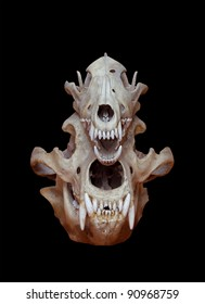 Skull of a bear and wolf on a black background