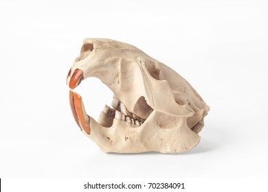 skull of a beaver on the isolated white background
