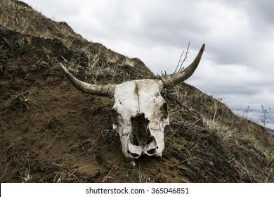 The skull of a bull.