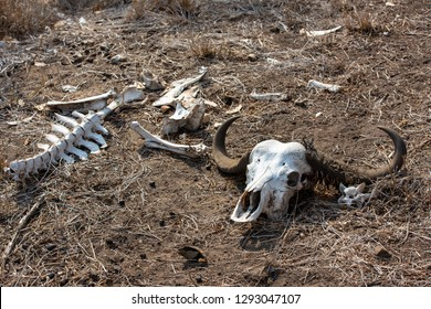 The skull of a cape buffalo with impressive horns eaten by worms and bones lying on the ground in South Africa