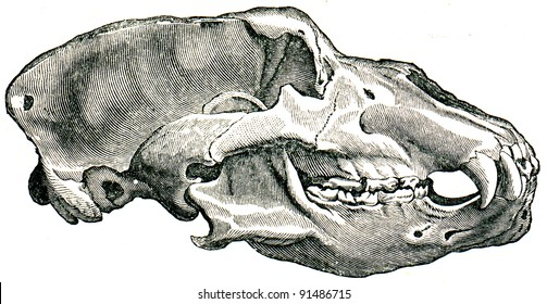 """Skull Cave Bear - Ursus spelaeus - an illustration to article """"Quaternary"""" of the encyclopedia publishers Education, St. Petersburg, Russian Empire, 1896"""