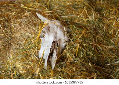 Skull of Cow in the Hay