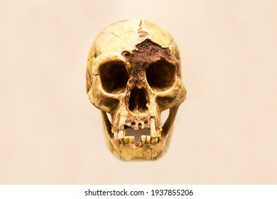 The skull of the Floresian hobbit man with a lower jaw (Latin: Homo floresiensis) is isolated on a white background. Paleontology fossil animals.