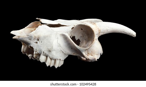 Skull of the goat, isolated on black
