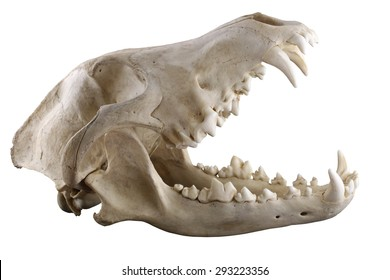 Skull of grey wolf  isolated on a white background.  Opened mouth. Focus on full depth.