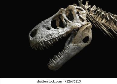 Skull head or dinosaur head bone carnivorous Tyranosaurus or T-Rex on black background.