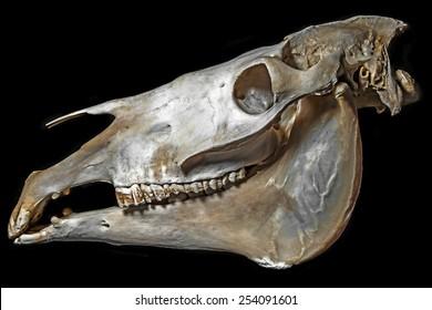 skull of horse
