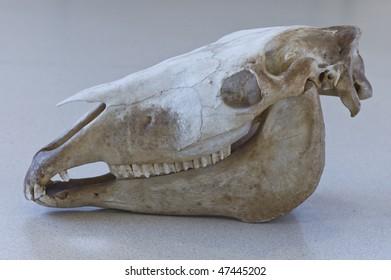Skull horse