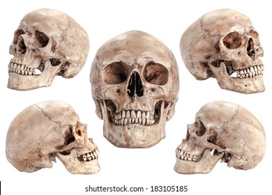 Skull model on isolated white background