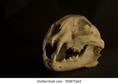 skull of Monkey on Black background