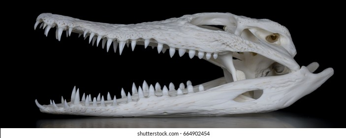 Skull of a Nile crocodile (Crocodylus niloticus) with open mouth