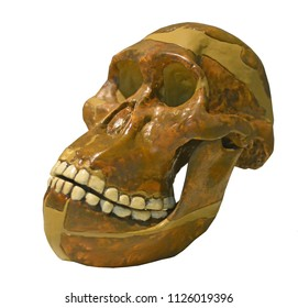 Skull of one of the most ancient human ancestors Australopicanthus with his massive jaw and small brain. Isolated against a white background