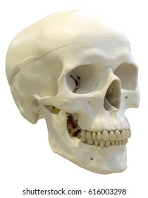 Skull of the person close-up.