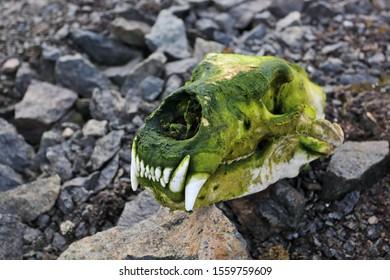 Skull of polar bear in the Arctic