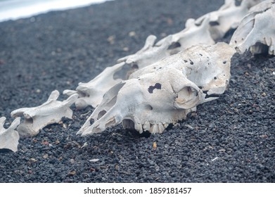 The skull of a predatory animal.